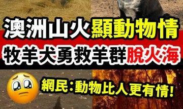 牧羊犬勇救900隻羊仔!|#網絡熱話