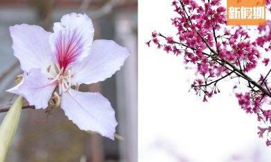 【香港賞花】全年賞花時間表一覽 櫻花、繡球花、藍花楹開花地點合集! 香港好去處