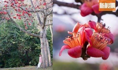 浪漫木棉花3月盛開!香港7個賞花地點一覽|香港好去處