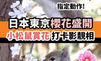 小松鼠賞櫻|#療癒時間 ============ 正值櫻花季