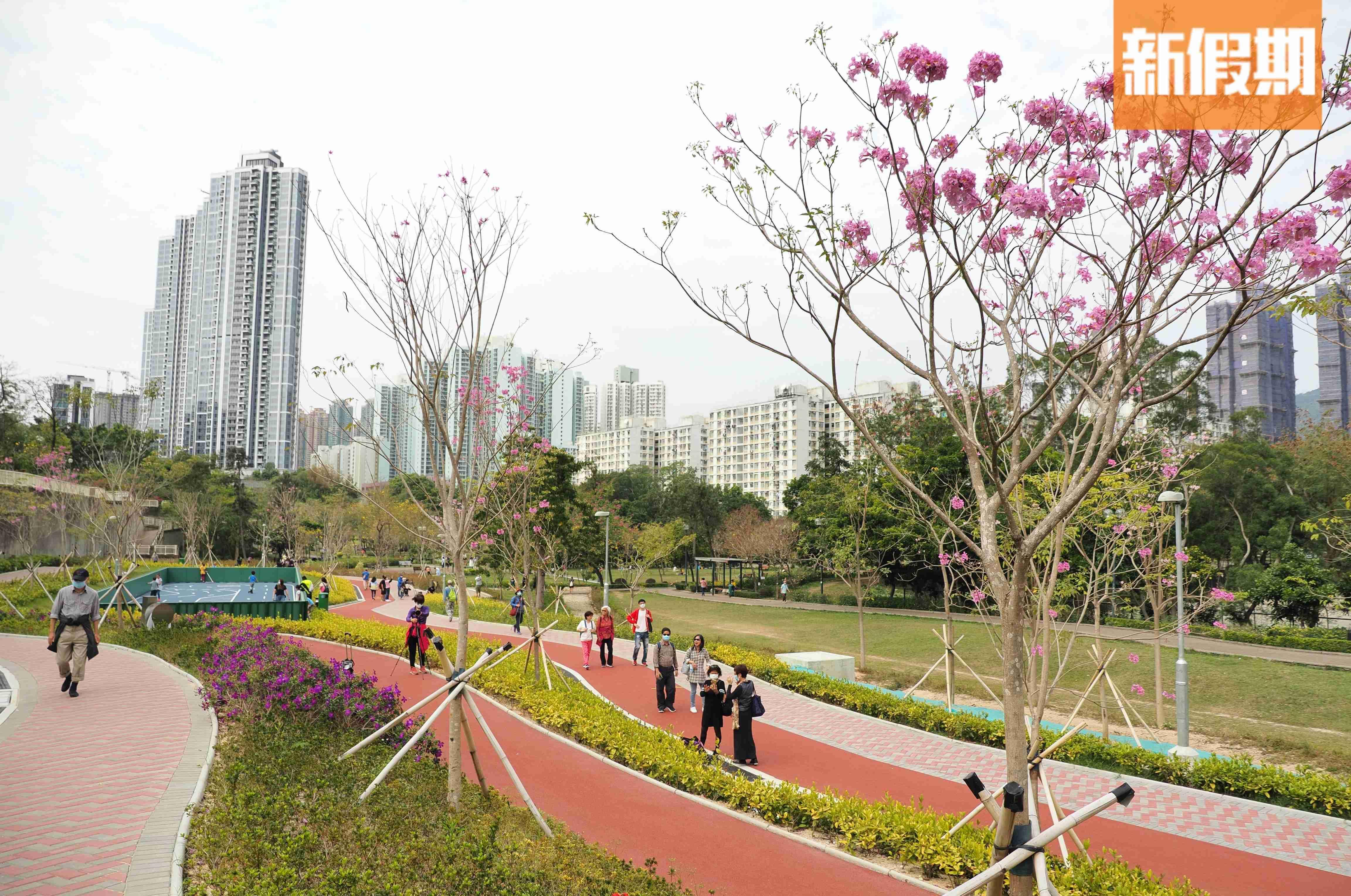 【賞花2020】南昌公園黃花風鈴木盛放 金黃花海花期只剩一星期!|香港好去處