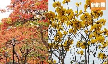 【香港賞花】全年賞花時間表一覽|櫻花、繡球花、藍花楹開花地點合集!附2021香港花卉展覽詳情|香港好去處