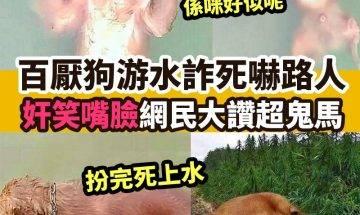 【#網絡熱話】|百厭狗游水詐死嚇路人