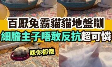 【#網絡熱話】|百厭兔霸佔貓貓地盤