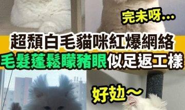 【#網絡熱話】|超頹白毛貓咪紅爆網絡