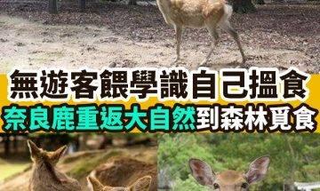 【#時事熱話】|奈良鹿重回森林覓食