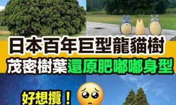 【#網絡熱話】|日本百年巨型龍貓樹