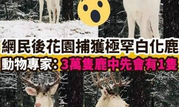 【#網絡熱話】|網民後花園捕獲極罕白化鹿