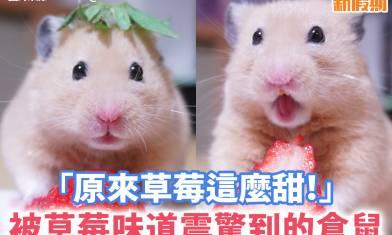 【#網絡熱話】倉鼠食士多啤梨,表情震驚好可愛!
