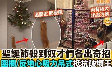 【#網絡熱話】保護聖誕樹正式開始!