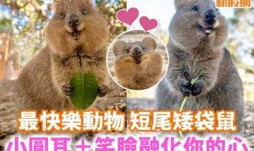 【#網絡熱話】|澳洲可愛短尾矮袋鼠