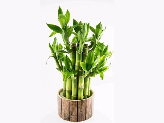 正東方擺放四枝水種富貴竹,亦可以形成文昌的風水巒頭。