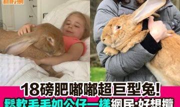【#網絡熱話】|18磅肥嘟嘟超巨形兔