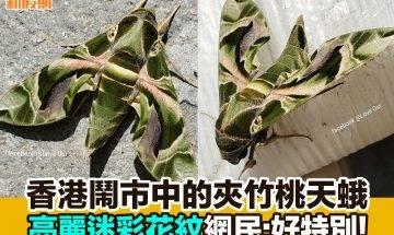 【#網絡熱話】|香港鬧市中的夾竹桃天蛾