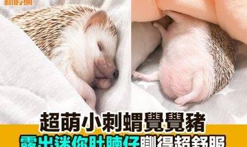 【#網絡熱話】|超萌小刺蝟瞓覺覺豬