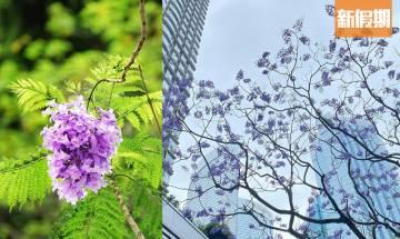 【藍花楹香港2021】4月花期盛開!香港賞花地點一覽+拍攝打卡技巧分享 |香港好去處
