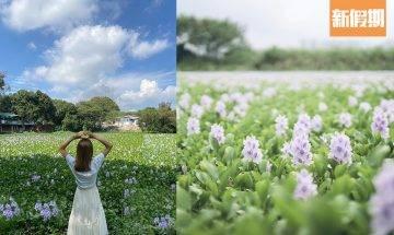【鳳眼藍香港2021】5月花期將至 !元朗/上水兩大賞花地點一覽+拍攝打卡技巧分享 |香港好去處