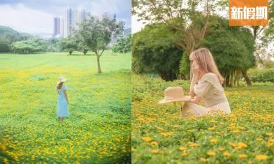 上水安圃村野黃菊花海  黃色小花遍原野 附詳細交通地圖及拍攝小貼士|香港好去處